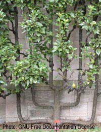 Espalier Pear Tree Losing Fruit: What Is The Cause?