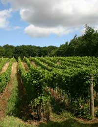 Vineyards In Britain