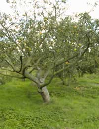 Orchards In Britain