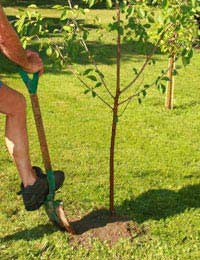 Planting Tips For Fruit Bushes Planting
