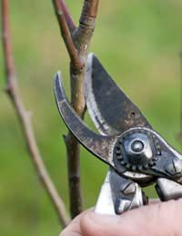 Pruning Fruit Bushes Pruning Fruit Trees