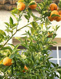 Orange Trees Growing Oranges Origins Of