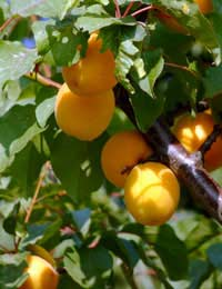 Growing Apricots In The Uk Apricot Trees
