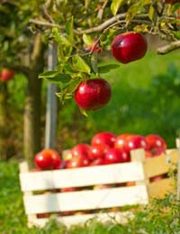 garden orchard with apple tree in fruit and a crate filled with harvested apples