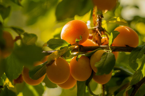 apricot tree with bunch of apricots set against leaves