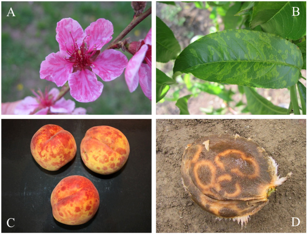 plum pox infections in fruit blossom, leaves, flesh, and stones