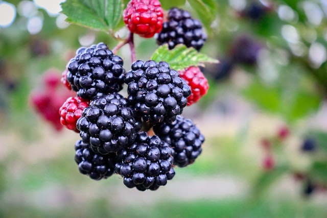 a growing blackberry bush with ripening fruits