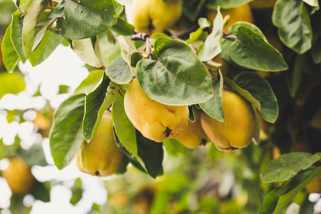 quince tree in fruit - golden yellow fruit and green leaves